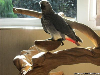 talking pair of congo african grey parrots for sale