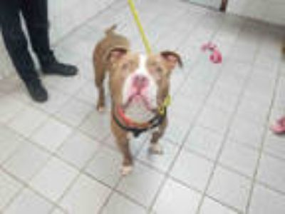 Adopt STONE a Tan/Yellow/Fawn - with White American Pit Bull Terrier / Mixed dog