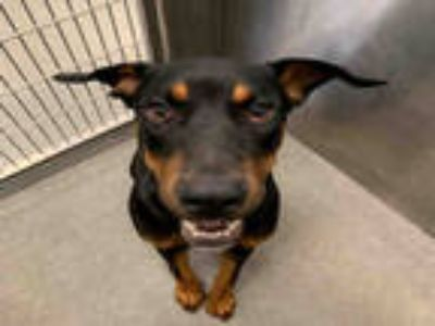 Adopt MELVIN a Black - with Tan, Yellow or Fawn Rottweiler / Mixed dog in