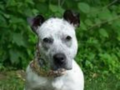 Adopt MYA a Black - with White Australian Cattle Dog / Mixed dog in Belleville