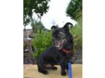 Adopt Harold a Black Terrier (Unknown Type, Small) / Pug dog in Kennesaw