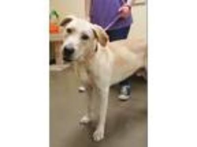 Adopt Big Mike a Labrador Retriever