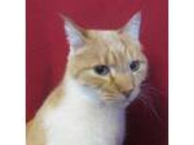 Adopt Forrest a Orange or Red Domestic Shorthair / Domestic Shorthair / Mixed