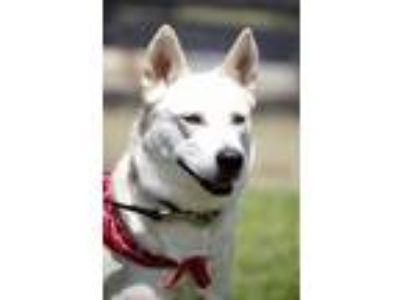 Adopt Sage a White Shepherd (Unknown Type) / Husky / Mixed dog in West Grove