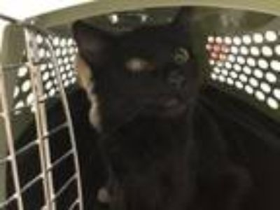 Adopt SWEET PEA a Domestic Medium Hair