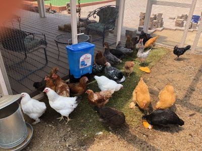 20 chickens available