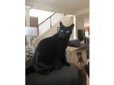 Adopt Luca a All Black Domestic Shorthair / Mixed cat in Newnan, GA (23231497)