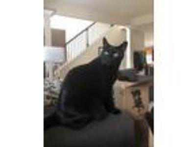 Adopt Luca a All Black Domestic Shorthair / Mixed cat in Newnan, GA (23231497)