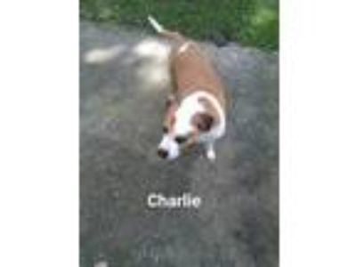 Adopt Charlie a White - with Tan, Yellow or Fawn Bullmastiff / Hound (Unknown
