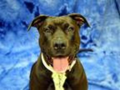 Adopt Meesha a American Pit Bull Terrier / Mixed dog in Portland, OR (25879889)