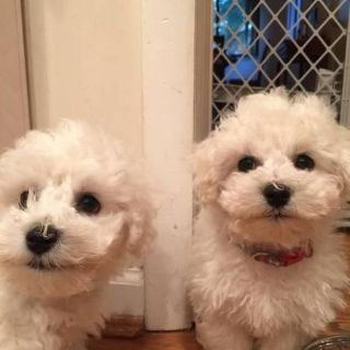 BICHON FRISE Puppies**Are Cute and Handsome