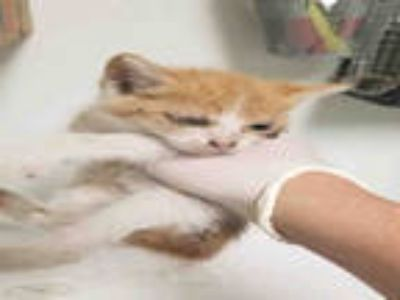 Adopt TICKLES a Orange or Red Tabby Domestic Shorthair / Mixed (short coat) cat