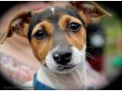 Adopt Kensie a Brown/Chocolate - with Black Jack Russell Terrier / Mixed dog in
