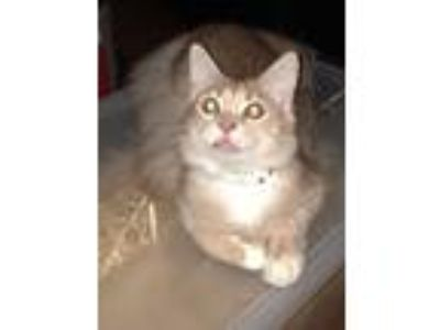 Adopt Butter Bean a Tan or Fawn (Mostly) Domestic Mediumhair (medium coat) cat