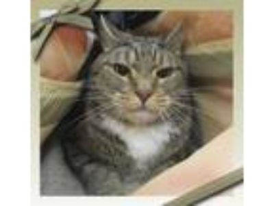 Adopt GOMA see also MOCHA a Brown Tabby Domestic Shorthair (short coat) cat in