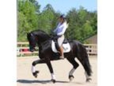 8 Year old mare with incredible movement talent and outstanding quality