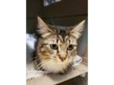 Adopt Pixie a Brown or Chocolate Domestic Shorthair / Domestic Shorthair / Mixed