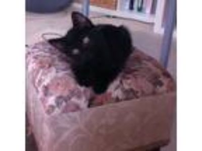Adopt April a All Black Domestic Shorthair (short coat) cat in Covington