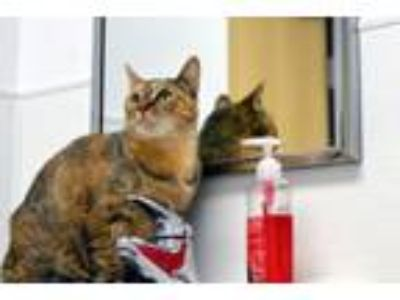 Adopt Myrtle a Domestic Short Hair