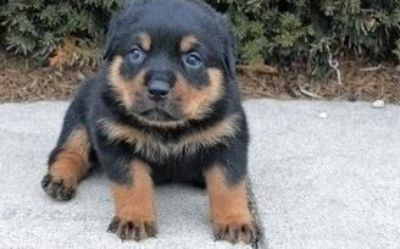 kjghdrtht nice Rottweiler puppies ready now