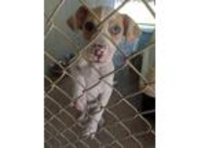 Adopt Gizmo a White Pointer / Mixed dog in Mission, KS (25257452)