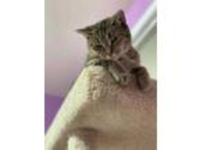 Adopt Rue a Brown or Chocolate Domestic Shorthair / Domestic Shorthair / Mixed