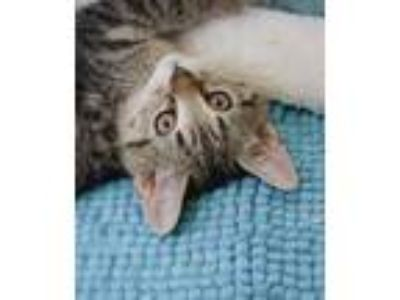 Adopt Dobby a Brown or Chocolate Domestic Shorthair / Domestic Shorthair / Mixed
