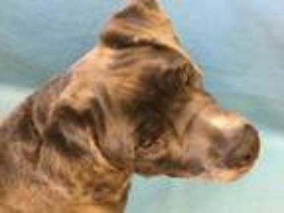 Adopt Cheese a Gray/Blue/Silver/Salt & Pepper Neapolitan Mastiff / Mixed dog in