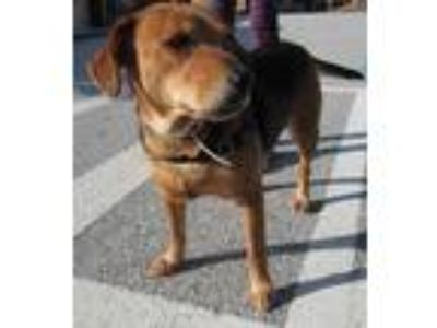 Adopt Chloe a Brown/Chocolate Beagle / Mixed dog in West Chester, PA (20848871)