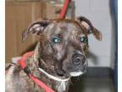 Adopt Javi a Brindle American Pit Bull Terrier / Mixed dog in Spartanburg