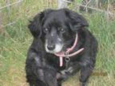 Adopt MollyK a Black - with White Cocker Spaniel / Terrier (Unknown Type