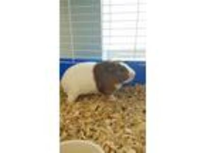 Adopt Cunningham a Guinea Pig small animal in Madison, NJ (25307776)