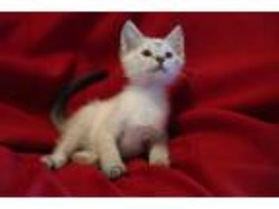 Adopt Simon a Cream or Ivory (Mostly) Siamese (short coat) cat in Allentown