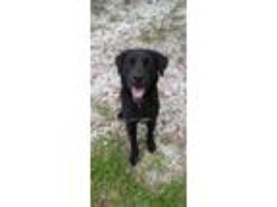Adopt Beerus a Black Labrador Retriever / Mixed dog in New Smyrna Beach