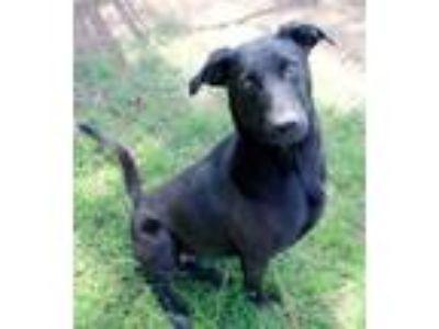 Adopt Hurley a Labrador Retriever