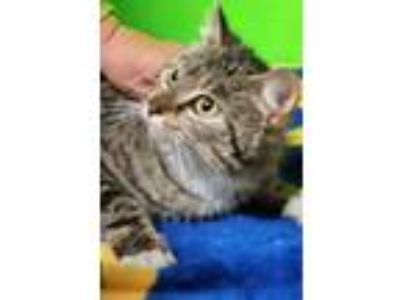 Adopt Mirabella a Domestic Short Hair, Tabby