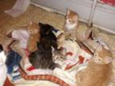 Adopt KITTENS!! a Orange or Red (Mostly) Domestic Shorthair (short coat) cat in