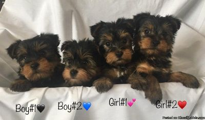 CKC REG Yorkshire Terrier Puppies