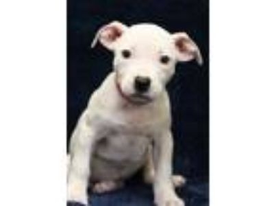 Adopt Jackie a White Pit Bull Terrier / Mixed dog in Waldorf, MD (25805509)