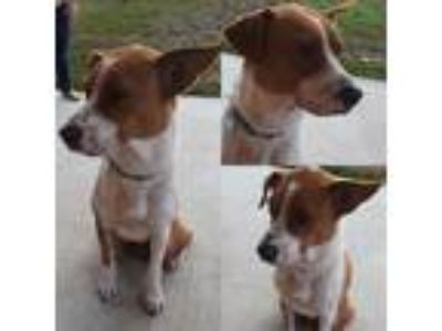 Adopt Dixie a Red/Golden/Orange/Chestnut - with White Terrier (Unknown Type