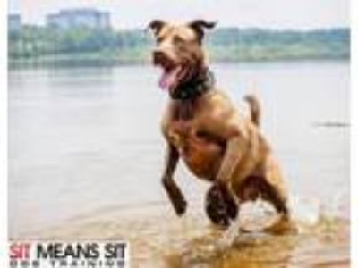 Adopt Kodiak a Chocolate Labrador Retriever, Chesapeake Bay Retriever