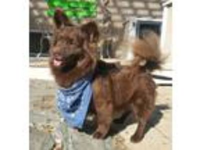 Adopt Fritzy a Brown/Chocolate Pomeranian / Mixed dog in Canterbury
