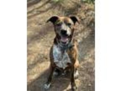 Adopt Sampson a Plott Hound, Terrier