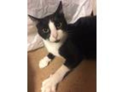 Adopt Trooper a Black & White or Tuxedo Domestic Mediumhair (medium coat) cat in