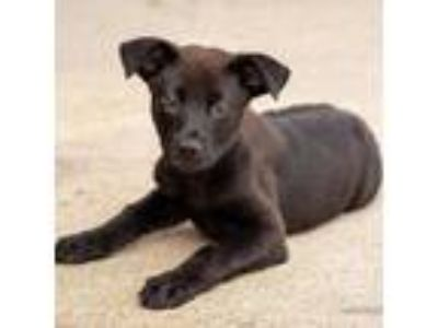 Adopt Valkyrie a Labrador Retriever / Shepherd (Unknown Type) / Mixed dog in