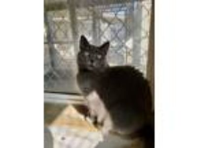 Adopt Amanda a Domestic Short Hair