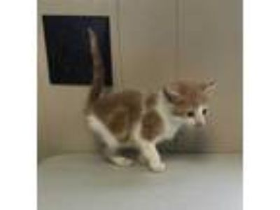 Adopt Kasey a Orange or Red Domestic Shorthair / Domestic Shorthair / Mixed cat