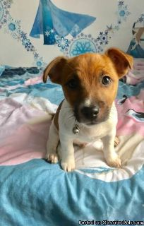 Beautiful jack russell puppy for Rehoming