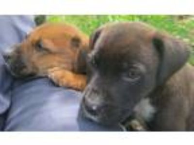 Adopt 3 new pups a Tan/Yellow/Fawn - with White Hound (Unknown Type) / Terrier