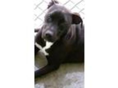 Adopt Loverboy a Pit Bull Terrier